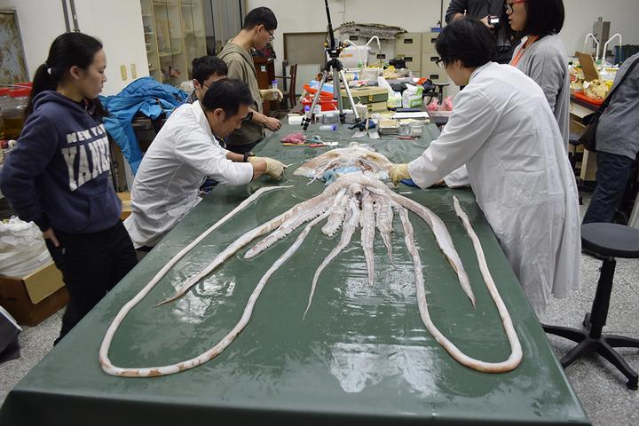 漁民1月11日在宜蘭外海首次發現大王魷魚實體標本,興大研究團隊協助解剖、紀錄,這是台灣首次發現大王魷魚。圖/中興大學提供