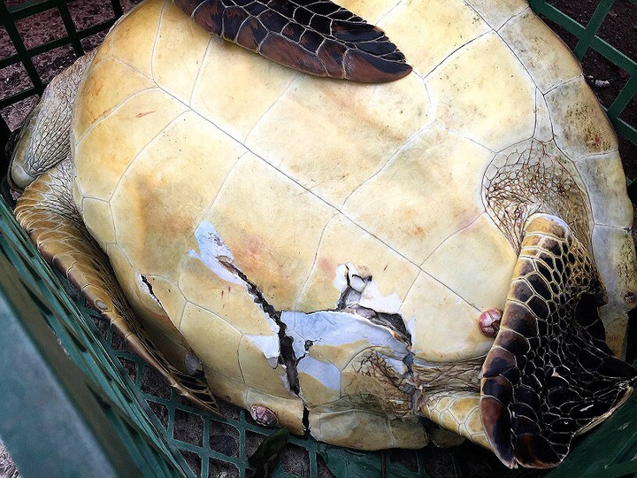 該海龜腹部疑似遭船螺旋槳擊中致死。記者蔣繼平/翻攝