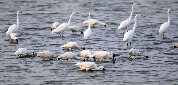 高雄茄萣濕地是南台灣知名的黑面琵鷺棲息地。圖/本報資料照片
