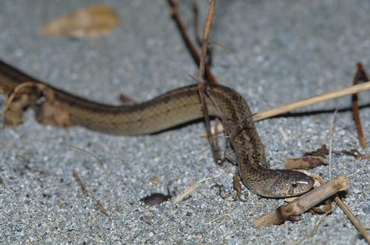 赤腹松柏根蛇。圖/黃文山提供
