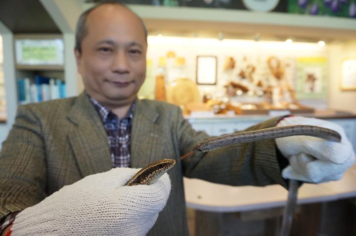 國立自然科學博物館研究員黃文山研究發現,蘭嶼的綠攜龜引發長尾南蜥(左)和赤背松柏根蛇(右)的食物鏈演化,蜥蜴會因掠食者的吃蛋,出現親代照顧的護蛋行為,記者喻文玟/攝影