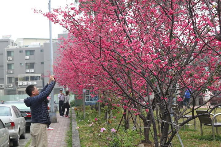 台中市太原路三段崇德榕園的櫻花綻放,也是整條太原路上最美的一段。記者黃寅/攝影