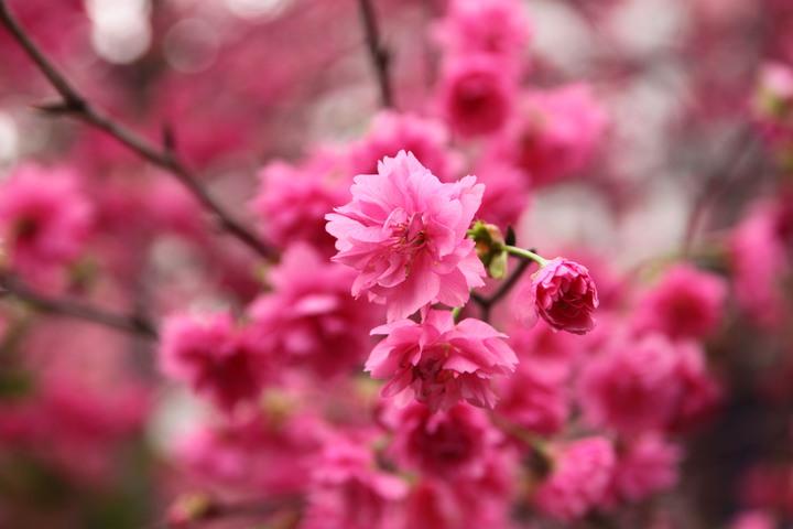 台中市太原路三段崇德榕園的八種櫻綻放。記者黃寅/攝影