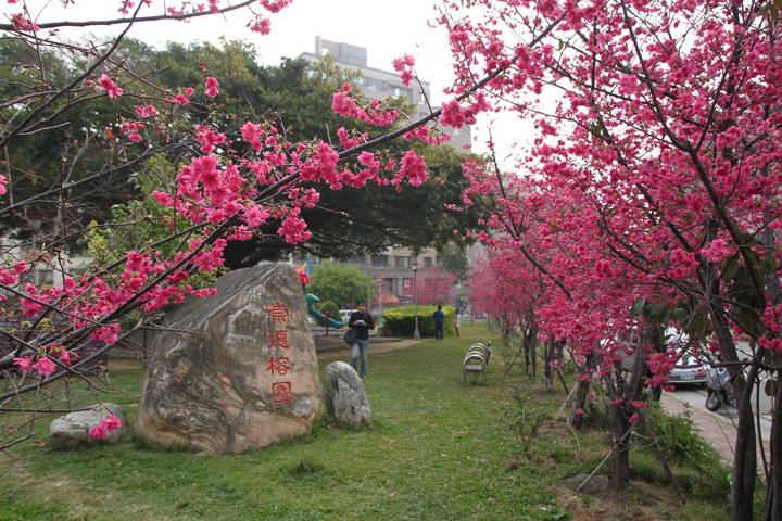 台中市太原路三段的崇德榕園櫻花綻放,形成108棵櫻花包圍著百年老榕樹的美景。記者黃寅/攝影