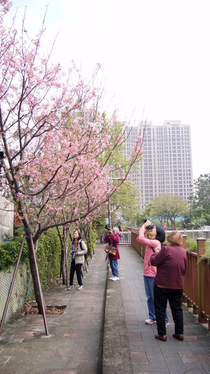 近日新北市土城區希望之河櫻花綻放,吸引居民、攝影愛好者前往。記者魏莨伊/攝影