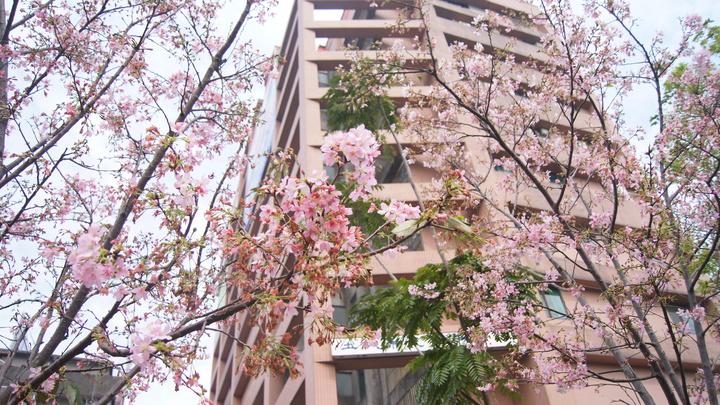 近日新北市土城區希望之河櫻花綻放,部分櫻樹已達滿開,正是賞花好時節。記者魏莨伊/攝影