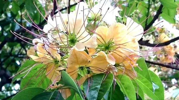 作家淋雨也要賞花 公館魚木繁花滿枝頭