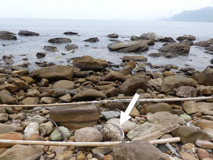 基隆市與新北市萬里區交界海岸,今天又被發現一隻死亡綠蠵龜(箭頭指處)。記者盧禮賓/攝影