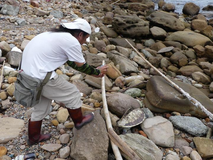 環保人士陳信助繼3月13日在基隆市與新北市萬里區交界海岸發現一隻死亡綠蠵龜,今天又在同一海灘岩石間發現一隻死亡綠蠵龜。記者盧禮賓/攝影