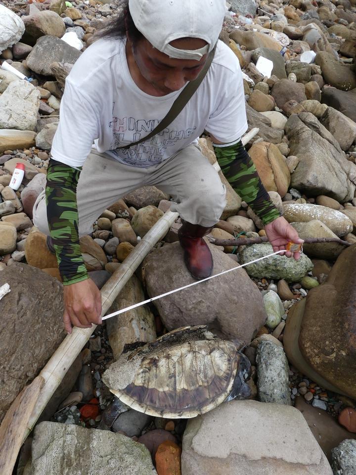 陳信助初步檢視綠蠵龜,長約38公分,寬約25公分,背甲破裂,屍體長蛆,已死亡一段時間。記者盧禮賓/攝影