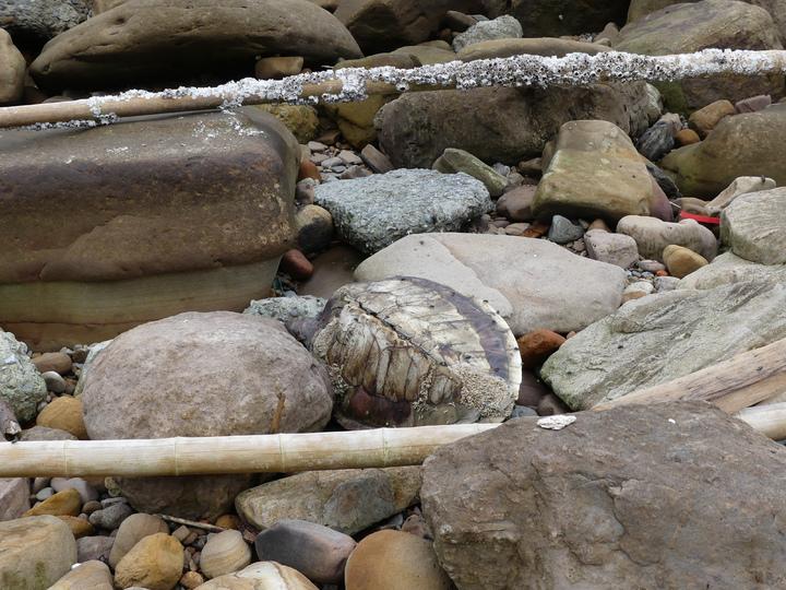 基隆市與新北市萬里區交界海岸,今天又被發現一隻死亡綠蠵龜。記者盧禮賓/攝影