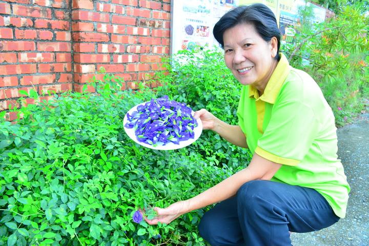 蝶豆花必須每天鮮採後乾燥存放。記者吳淑玲/攝影