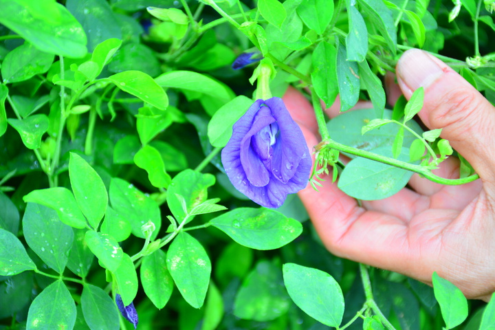 小小一朵藍色蝶豆花,今年夏天飲料市場紅翻天。記者吳淑玲/攝影
