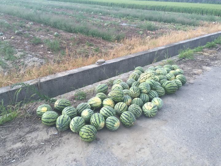 布袋鎮黃姓老翁就是在這處西瓜園撿拾西瓜時,疑因中暑死亡,一旁還可看到老翁撿拾的西瓜。記者黃煌權/攝影