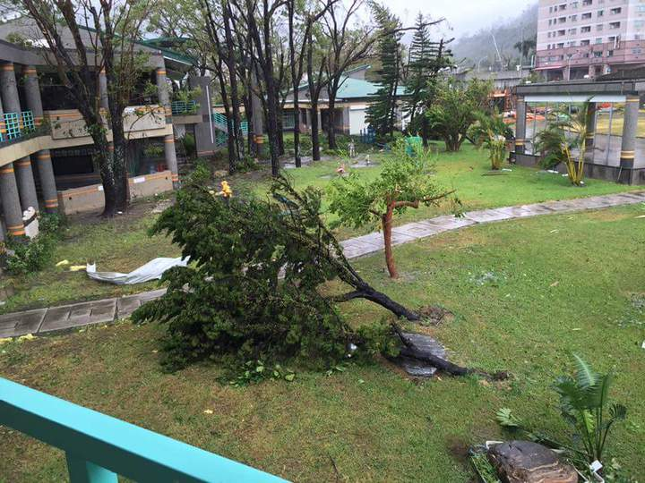 台東溫泉國小校園2棵大樹連根吹倒。圖/吳正成校長提供