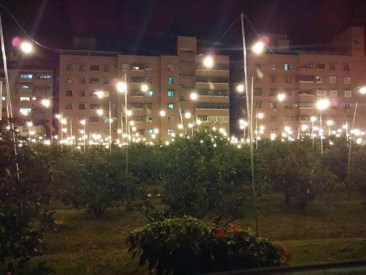 文旦博士許明舜透過自架燈泡讓文旦多點照明,以補光照不足,成功調節果樹開花期,讓樹上文旦結實累累。記者胡瑋芳/攝影