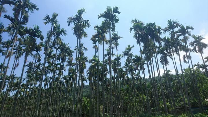 農糧署與雲林縣政府推廣檳榔樹廢園轉作苦茶油樹,但103年迄今僅有3人申請。記者李京昇/攝影