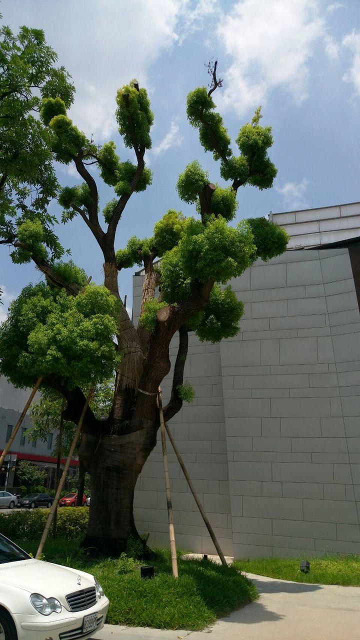 「惠宇觀市政」大樓建案基地的老樟樹,遷移到朝馬路、朝馬二街永久保留。記者趙容萱/攝影