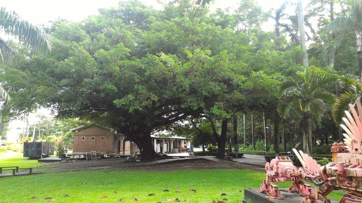 高雄橋頭糖廠內林相優美,一片綠色美景迷人。記者黃宣翰/攝影