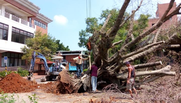 老榕樹被颱風吹倒,學校請專人評估搶救。照片協同中學提供
