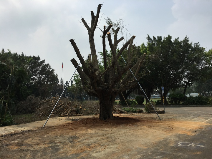 老榕樹扶正了,師生們將透過美術、多媒體活動為老樹的重生加油。照片協同中學提供