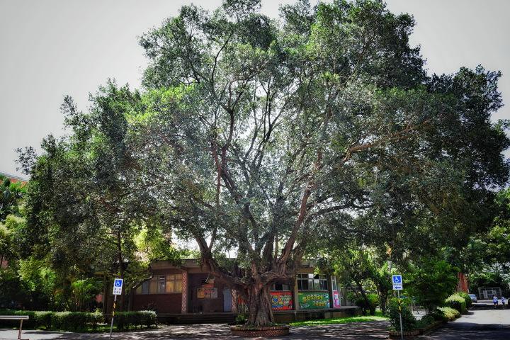 「榕樹下見」,創校老榕樹是師生和校友們的共同記憶。照片協同中學提供