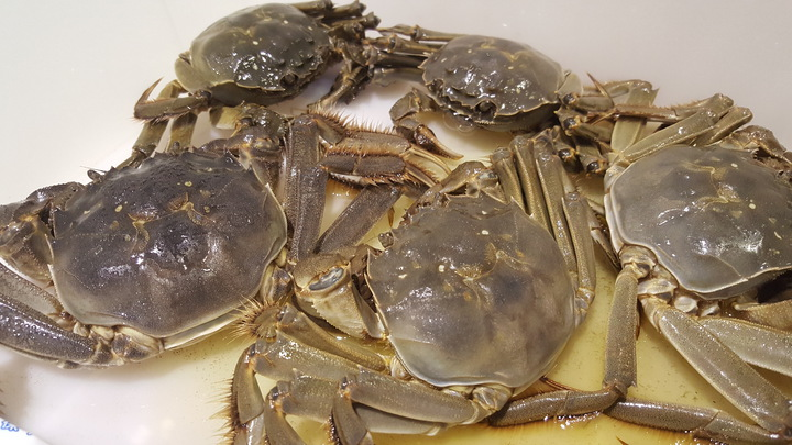 優質大閘蟹要求青背、白肚、黃毛、金爪等特徵。記者胡蓬生/攝影