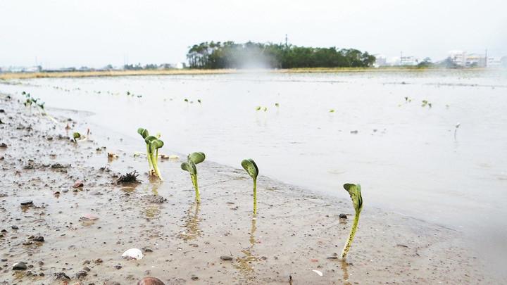 極端氣候之下,需要堅韌的種子。圖/本報資料照片