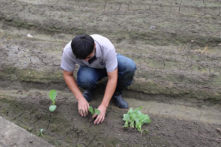 彰化市農民栽種蔬菜,其中以白菜、高麗菜為大宗。記者林敬家/攝影