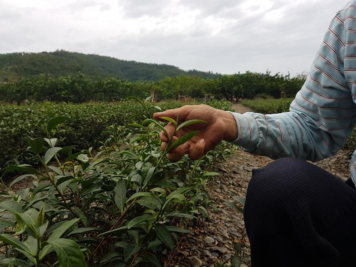 颱風將老葉打掉,導致嫩芽生長速度慢,影響收成。記者吳佩旻/攝影