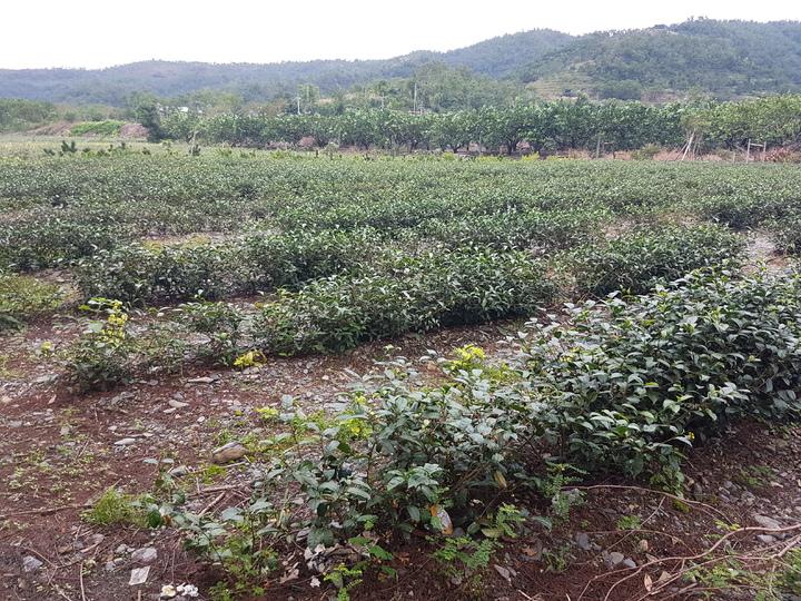 宜蘭冬山鄉中山村長李振福指出今年冬茶產量銳減,比往年少了約3成。記者吳佩旻/攝影