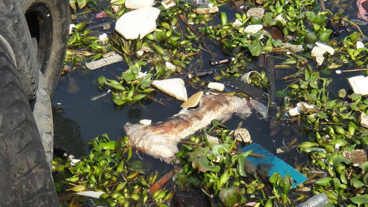 動物屍體飄散腐爛臭味,元旦連假在碼頭載浮載沉。記者蔣繼平/攝影