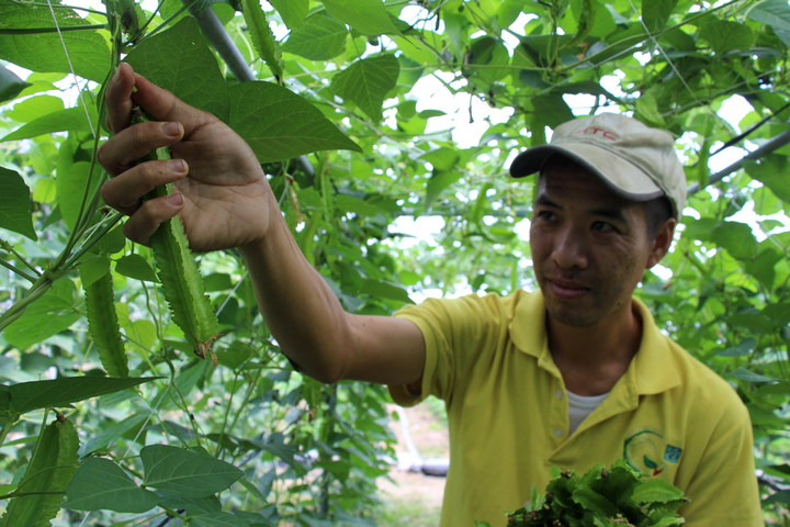 青農廖家助試種翼豆,成效佳。記者李蕙君/攝影