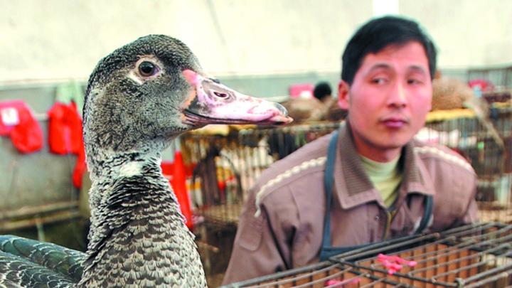 河南通報1例人染H7N9死亡。(資料照片)