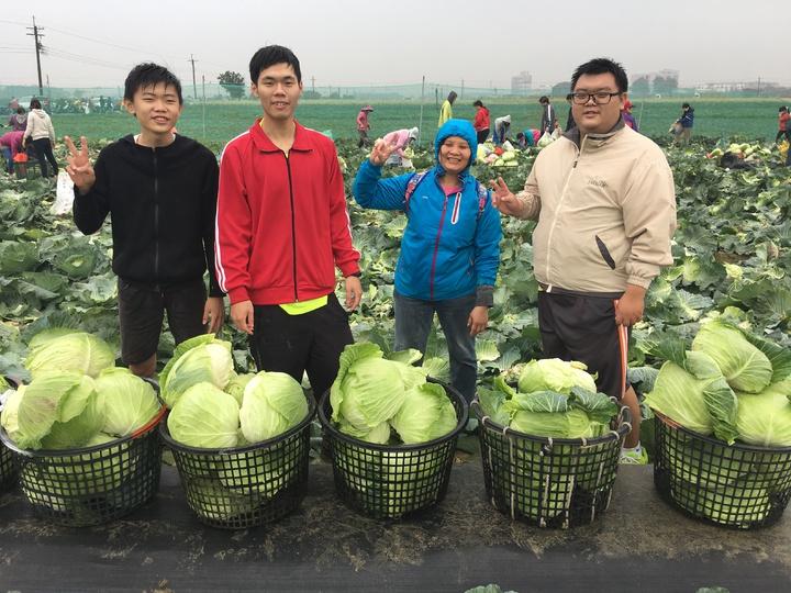 有家族總動員一起來採收高麗菜,要分送親友。記者吳淑玲/攝影