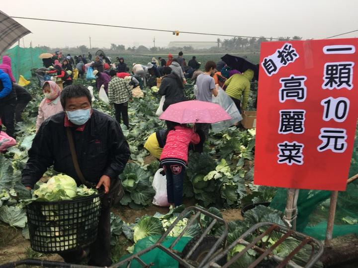台南市新市農民種植的高麗菜,以每顆10元開放民眾採收,一早就湧入大批民眾。記者吳淑玲/攝影