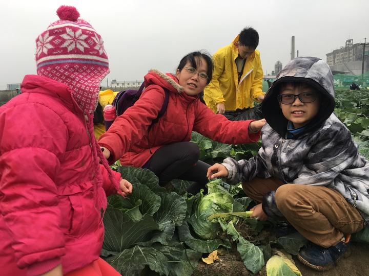 家長帶著小朋友一起體驗採收高麗菜。記者吳淑玲/攝影