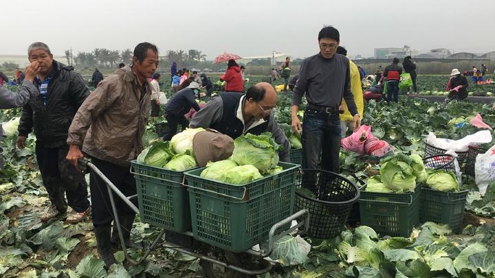 高麗菜園主陳朝坤幫忙民眾運送採收的高麗菜。記者吳淑玲/攝影