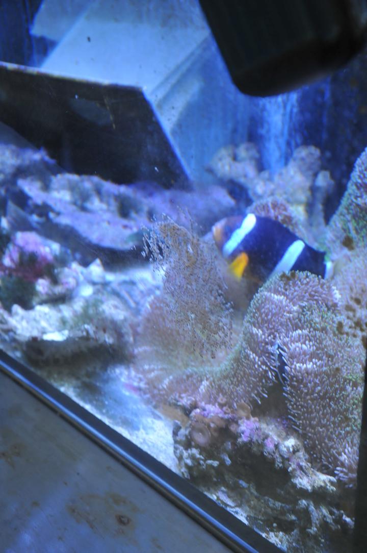 小丑魚的受精卵附著在魚缸壁上,公母魚會一直在旁邊游動保護。記者游明煌/攝影