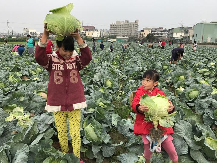 大寮農民開放民眾採收高麗菜,一粒15元,民眾穿梭農田採高麗菜,小朋友也來體驗農田,感受農民的辛勞。記者劉星君/攝影