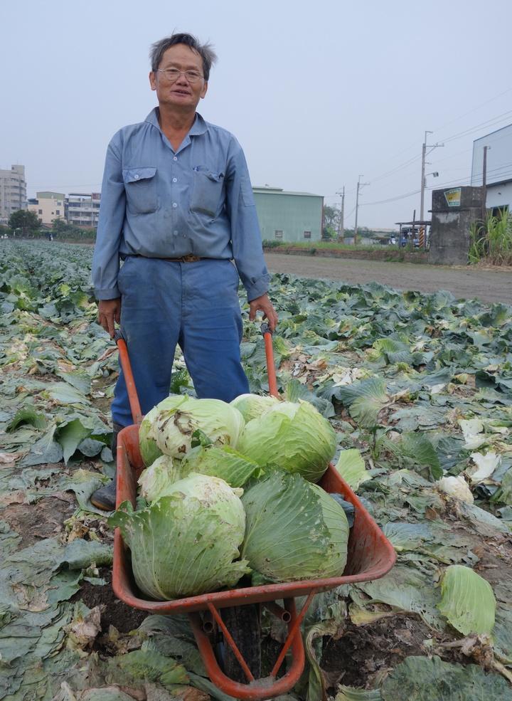 大寮農民蕭文明開放民眾採收高麗菜,一粒15元,他無奈說,第一次改種高麗菜就遇到價格崩盤。記者劉星君/攝影