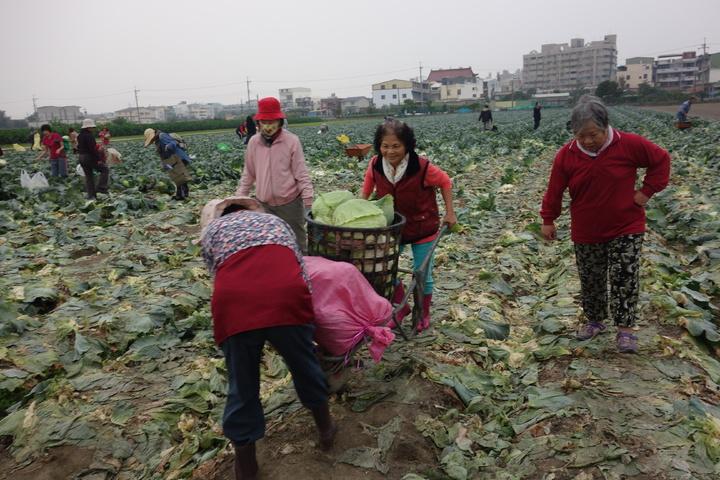 大寮農民開放民眾採收高麗菜,一粒15元,民眾穿梭農田採高麗菜。記者劉星君/攝影