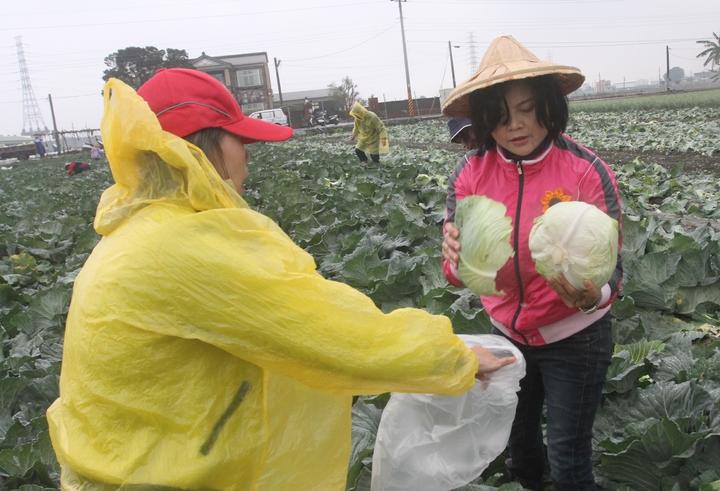 立委張麗善動員姊妹鄉親冒著風雨下田採高麗菜,搶救菜農,讓農民揪感心。記者蔡維斌/攝影