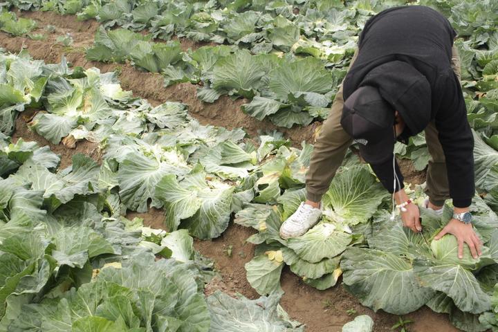 小寶優居員工因關注農民困境,主動前往陳朝坤高麗菜園採訪、討論,今入園協助農民採收。圖/小寶優居提供