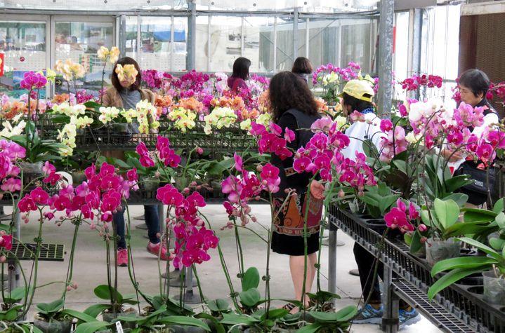 台糖年節應景蝴蝶蘭今天一上架,就有許多愛花人士到場參觀選購。記者周宗禎/攝影