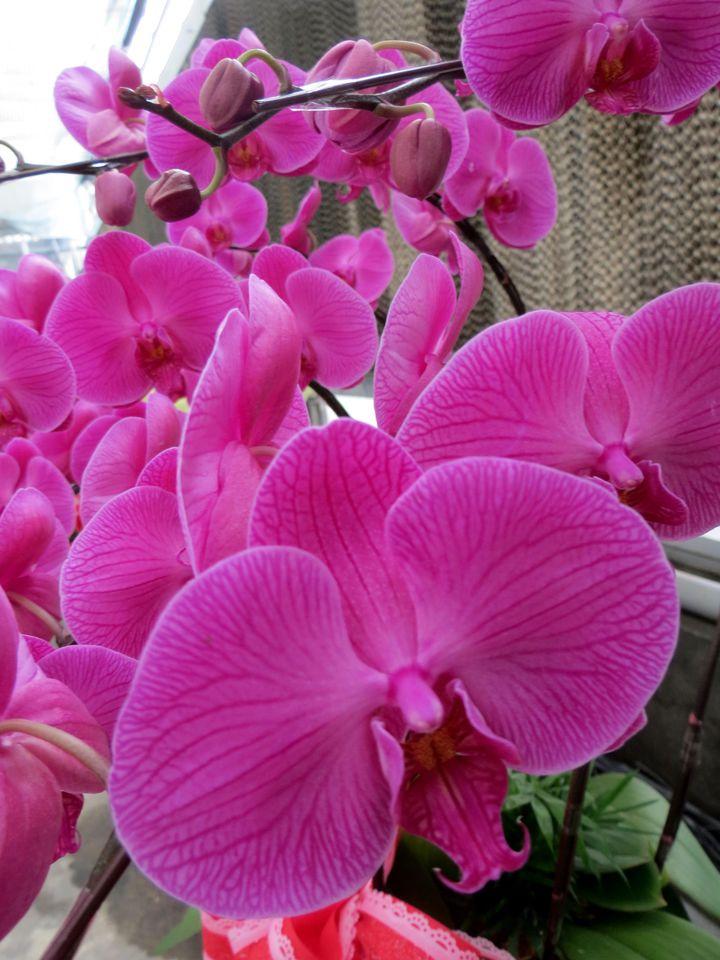 台糖春節應景蝴蝶蘭V31受歡迎,是銷售主力。記者周宗禎/攝影