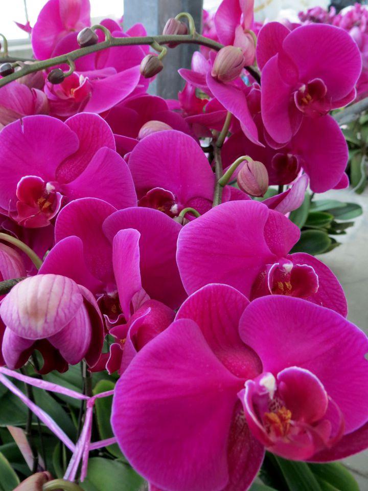 花朵大又鮮紅的大辣椒品種蝴蝶蘭應景討喜,一上架就被買光,春節前要買須預訂。記者周宗禎/攝影