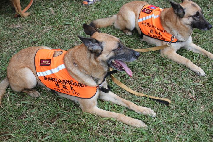 體格健壯、完全服從的搜救犬,在各攤位遊走,並由訓練員指揮做各種動作,讓眾人瘋狂拍照。記者陳雕文/攝影