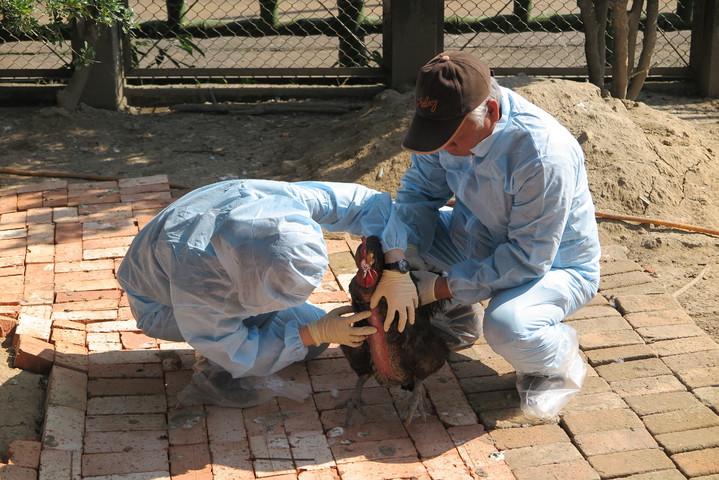 獸醫師穿防護衣進入禽場,檢查雞鴨鵝是否遭受禽流感。記者林孟潔/攝影