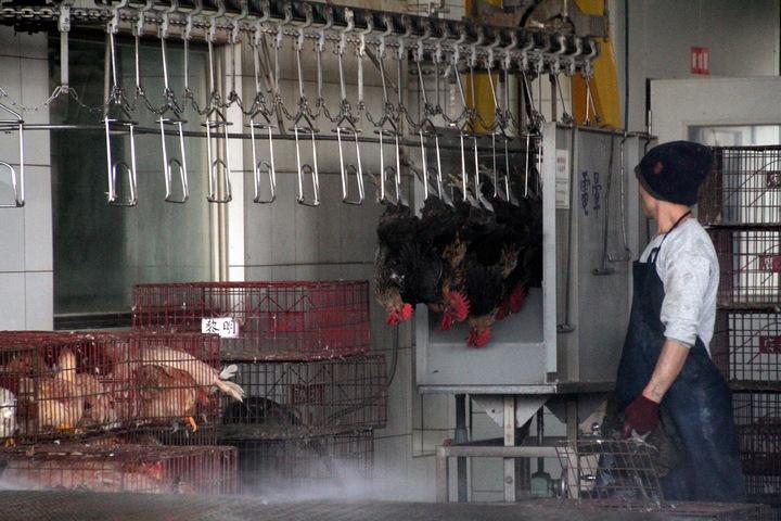 因應明天起休宰,苗栗縣家禽產銷協會的水清屠宰場今天提前2小時作業,下午4點開始宰殺雞隻。記者胡蓬生/攝影